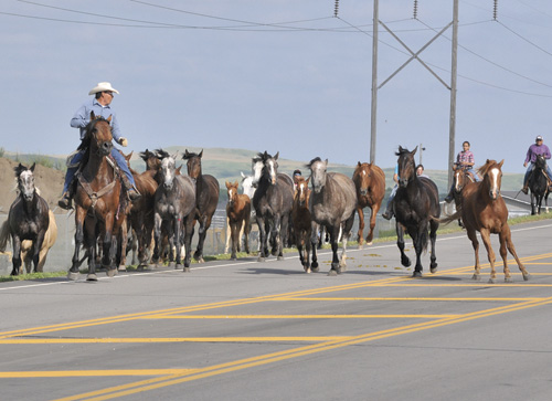 Much as the cowboys of yesteryear did, a group of wranglers brought the wild horses across the bridge Thursday, June 30, on the way to the Mobridge Rodeo Grounds. Jabo Gabe and his crew drove the horses across the bridge, to 20th Street, using the back roads to the rodeo grounds. The horses were used for the wild horse ride event at the Sitting Bull Stampede performances.
